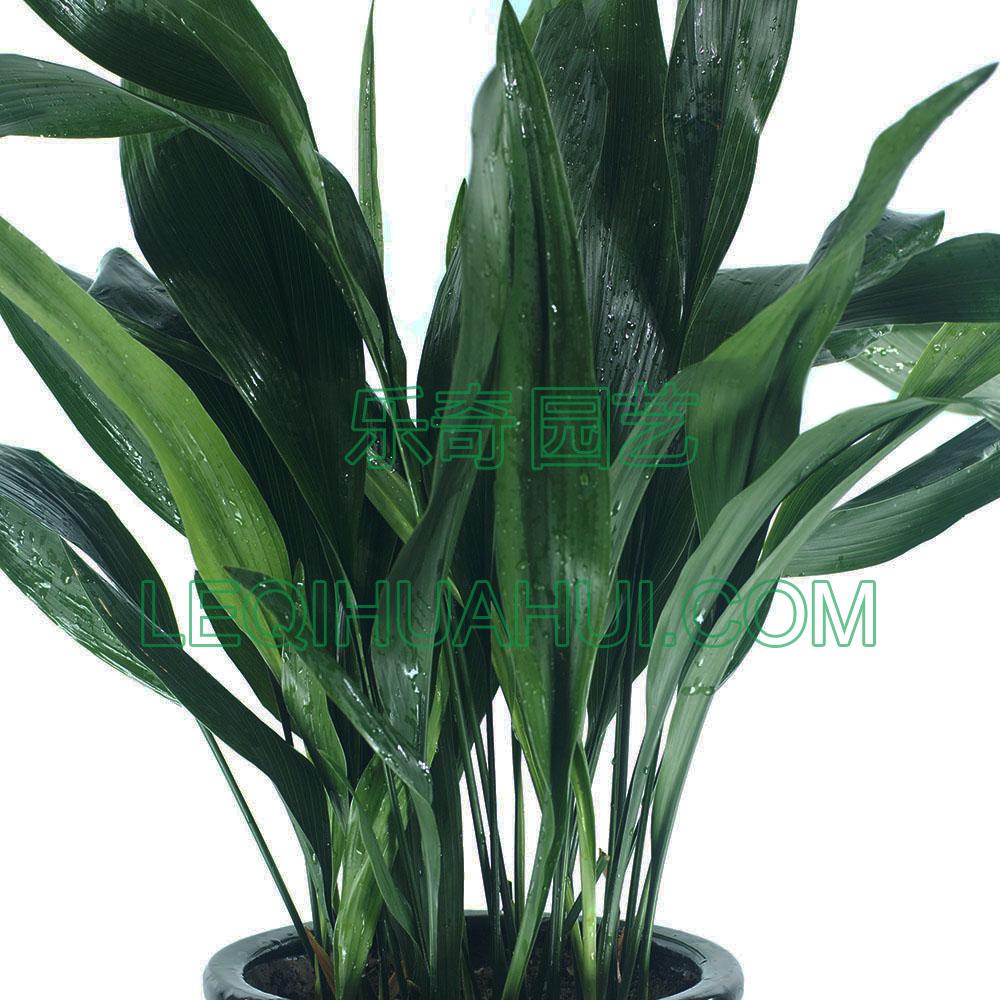 首页 产品展示 一叶兰                产品规格:高度80-100cm图片